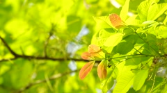 young leafs and wind - stock footage