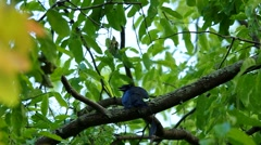 Greater racket-tailed drongo on tree Stock Footage