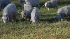 Angora goats are grazing on a pasture - pan Stock Footage