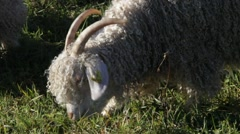 Angora goat grazing on a meadow - tracking shot Stock Footage