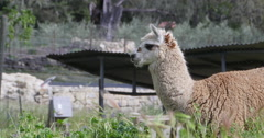 A Llama chewing on weeds - stock footage