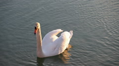 Swan swimming in the lake and looking for food Stock Footage