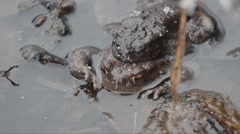 Toads (Bufo bufo) in  coupling when it's snowing Stock Footage