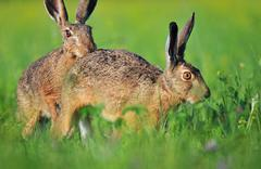 Two brown hare - stock photo