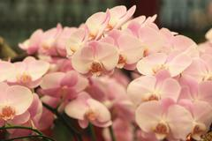 Phalaenopsis,moth orchid flowers - stock photo