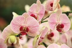 Phalaenopsis,moth orchid flowers - stock photo