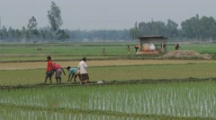 People work at the rice field in Tangail, Bangladesh. Stock Footage
