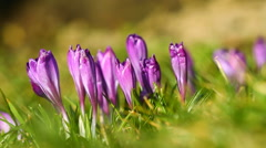 Violet crocuses on the green grass Stock Footage