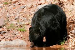 American black bear  drinking Kuvituskuvat