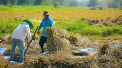 CHIANG RAI, THAILAND - Farm Workers Bundling Rice Stalks  Stock Footage