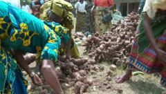 Nigerian women selecting heaps of potatoes Stock Footage