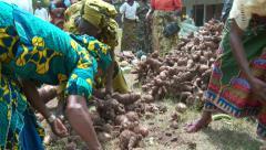 Nigerian women selecting heaps of potatoes - stock footage