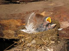 Nest of a swallow with nestlings Stock Photos
