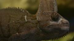 Chameleo calyptratus chameleon prophile Stock Footage