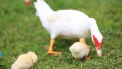 Duck family walking on farm Stock Footage