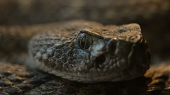 Southwestern Speckled Rattlesnake - Crotalus mitchellii pyrrhus pupil dillati Stock Footage