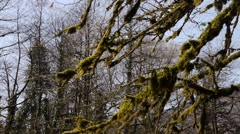 Moss on Trees in Mountain Gorge 4 Stock Footage