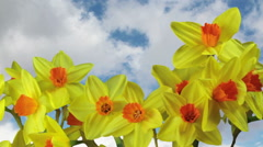 Spring Daffodils against sky Stock Footage