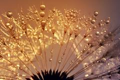 Dewy dandelion - stock photo