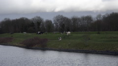 Holland - Holstein-Friesian Cows Grazing on the banks of river Stock Footage