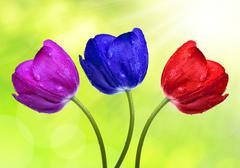 Dewy colorful tulips  Stock Photos