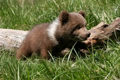 Grizzly bear cub sitting in green grass Stock Photos