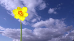 Single Daffodil composited over sky with key source Stock Footage