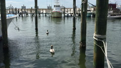 Pelicans floating at the dock in Destin, Florida Stock Footage