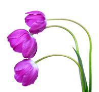 dewy purple tulips  - stock photo