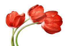 Dewy red tulip Stock Photos