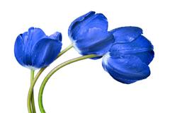 Stock Photo of Dewy blue tulips