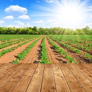Field with green sunflowers with wooden planks Stock Photos