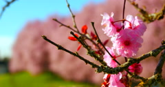 4K Cherry Blossoms Close Up, Macro Shot Stock Footage