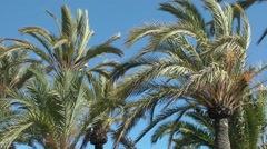 Palm trees palms swaying moving wind deep blue sky Stock Footage