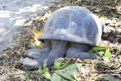 Aldabra giant tortoise resting - stock photo