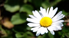 Macro View Of Daisy Flower, Breeze Moves The Petals Of A Flower - stock footage