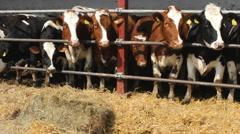 Cows and  Bulls farm straw, hay food Stock Footage