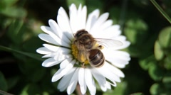 Close Up Of Bee On The Daisy Flower, Bee Pollinating A Daisy Flower And Fly Away Stock Footage