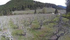 Aerial Flyover Pear/Apple Orchard Stock Footage