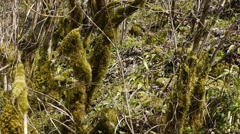 Stock Video Footage of Moss on Trees in Mountain Gorge 1