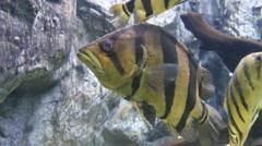 Aquarium fish closeup. - stock footage