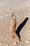 Yellow mongoose, Kalahari desert, South Africa Stock Photos