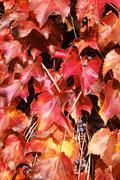 Red acer palmatum in autumn Stock Photos