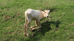 Scimitar-Horned Oryx - Baby Fawn Kneeling on Green Grass Stock Footage