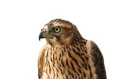 European sparrowhawk portrait over white ( Accipiter nisus ) Stock Photos