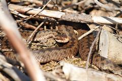female common european adder in situ ( Vipera berus ) - stock photo