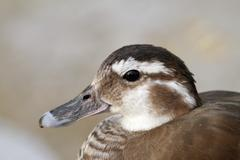 Female mandarin duck portrait over out of focus background ( Aix galericulata Stock Photos