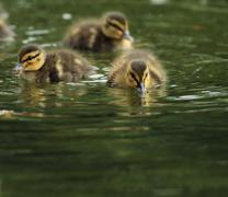 Flock of tiny little ducklings on water ( mallard duck, Anas platyrhynchos ) Stock Photos