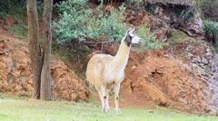 The llama (Lama glama) - stock footage