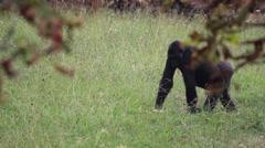 The western lowland gorilla (Gorilla gorilla) Stock Footage